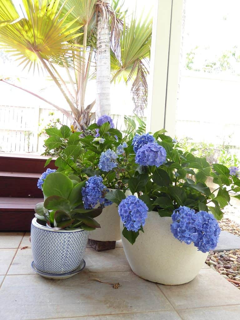 tewantin back exterior after renovation blue hydrangeas and blue and white pots